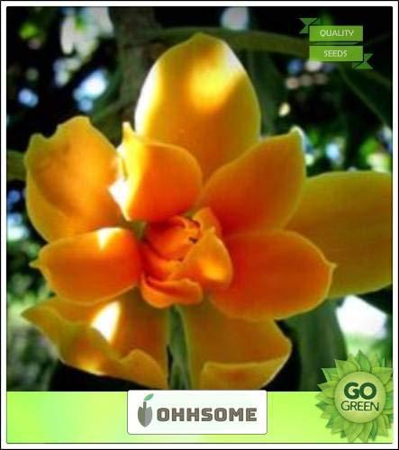 GEOPONICS SEED Largeing Champak Grande sempreverdi del Magnoliaceae esterno della famiglia s Per la casa Semi Kitchen Garden Seeds pacchetto dei semi (10 per pacchetto)