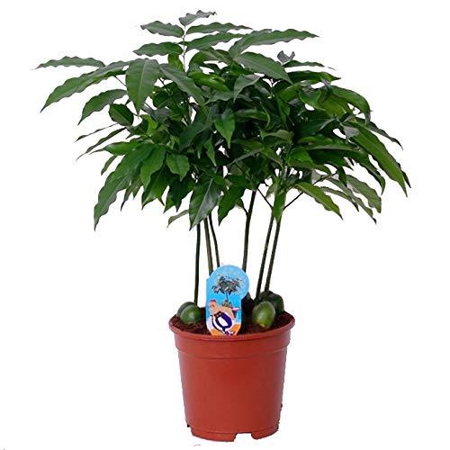 Australische Kastanie (Castanospermum), exotische Zimmerpflanze (ca. 65cm hoch im 17cm Topf)