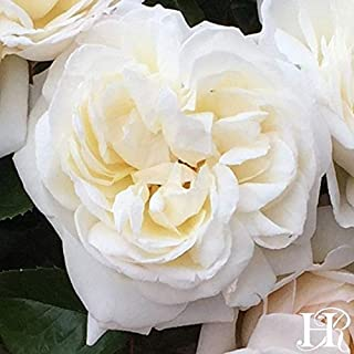 Own-Root One Gallon White Gold Shrub Rose by Heirloom Roses
