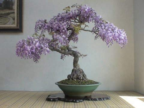 Bonsai Tree Chinese Wisteria Tree Seeds, 10 Pack - Highly Prized Flowering Bonsai, Wisteria sinensis - 10 Seeds to Grow