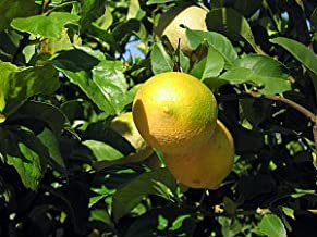 Improved Meyers Lemon Tree - 2 Year Old (can only Ship in Texas)