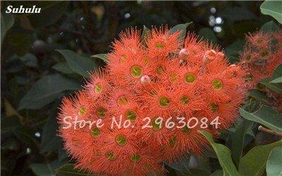 Vente! 100 pcs/sac rares Eucalyptus Graines géant Arbre tropical Graines Angiosperme pour jardin plantation en plein air Bonsai cadeau 3