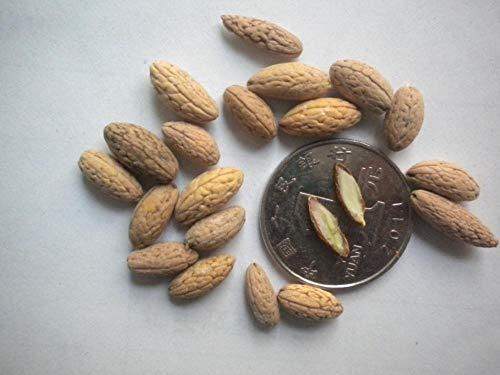 Semillas del árbol Du Ying