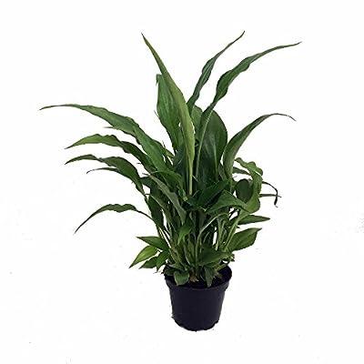 "Hirt's Gardens B000WPABE8 Peace Lily Spathyphyllium-House Plant-4"" Pot"