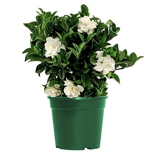 American Plant Exchange Gardenia Bush Veitchii Live Plant, 6' Pot,...