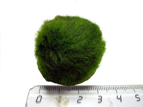 Cladophora aegagropila - Mooskugel Mini 1-3cm