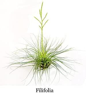 Air Plants - Tillandsia Filifolia - 3 Exotic Plants at a Great Price!
