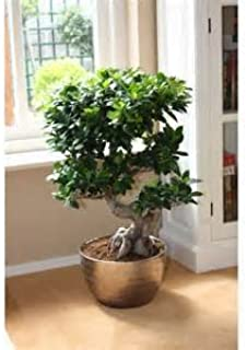 Chinese Rare Ficus Microcarpa Tree Seeds 100pcs China Roots Sementes Bonsai Ginseng Banyan Garden Tree Outdoor Planters