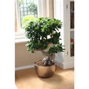 Bonsai Ginseng Banyan Garden Arbre Planters extérieur de la Chine Racines chinoises rares Ficus Microcarpa Arbre Graines