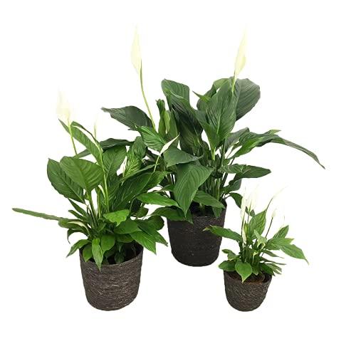 Zimmerpflanzen von Botanicly – 3 ×...