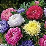 アスターPaeony公爵ミックスフラワー種子(エゾギクトールPaeony)200個の+種子