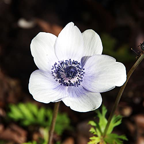 Semillas de amapola blanca, 100pcs / Plantas raras semillas de amapola bolsa Hardy Azul Pétalo interior Semillas al aire libre siembra de flores para la Inicio de jardinería Ideal regalo al aire libre