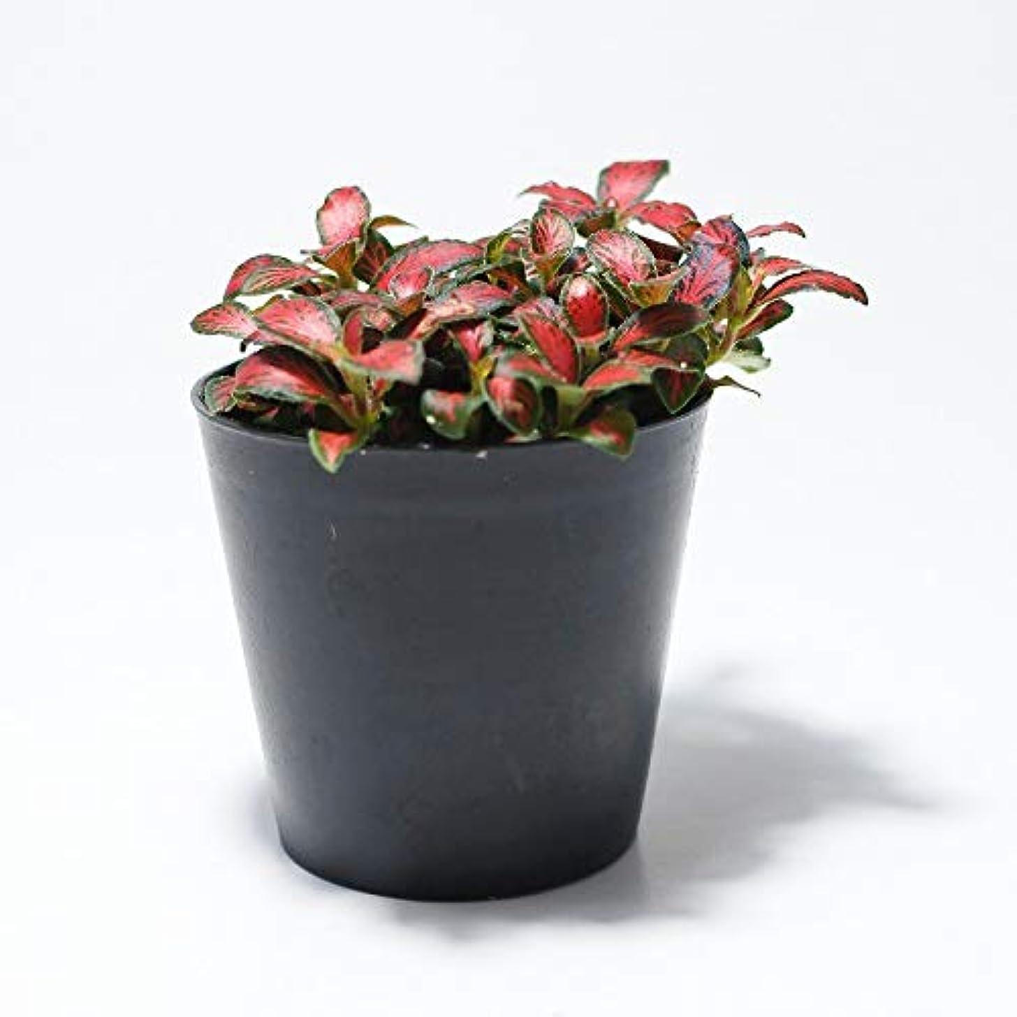 まっすぐ起こりやすいコーラスコケのインテリア コケリウム テラリウム 山野草 苔盆栽 苔玉 フィットニア フォレストフレイム