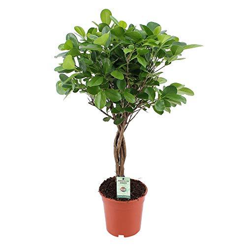 Ficus Microcarpa Moclame | Moraceae | Lorbeerfeige | Chinesische Feige | luftreinigende Zimmerpflanze | Höhe 70-75cm | Topfgröße Ø 17cm