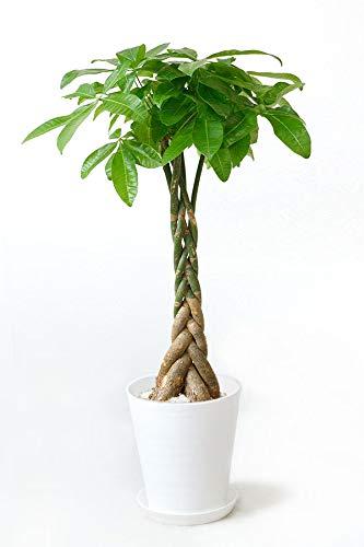 【セラアート鉢】選べる観葉植物 8号鉢 (パキラ, ホワイト)