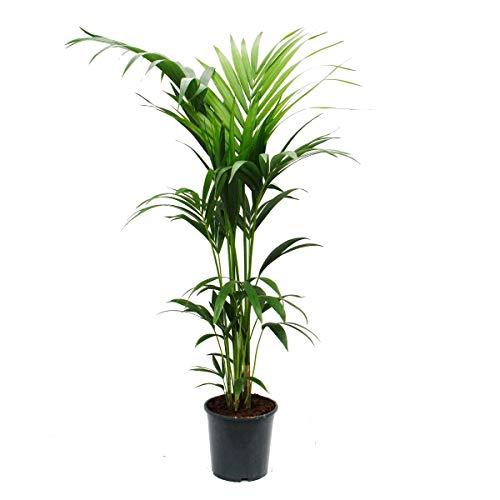 Kentia Palm, Howea forsteriana, 21cm, approx. 120cm high