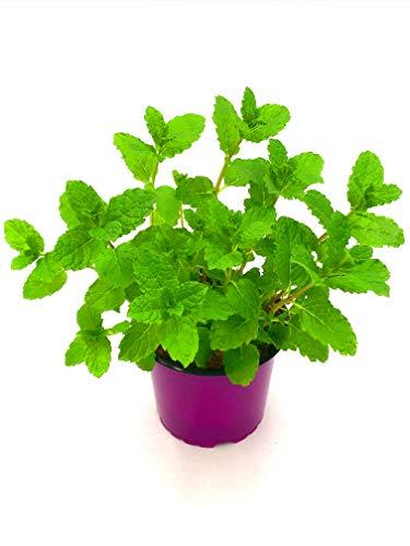 Marokkanische Tee Minze Mentha spicata 4stk./Kräuter Pflanze