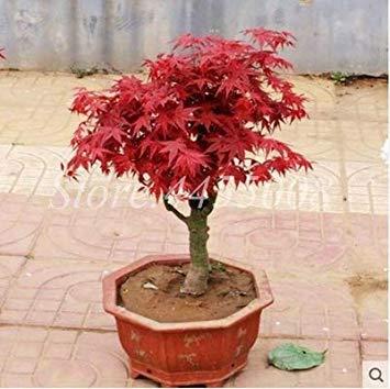 vonly 40 PC Japanisches rosa Ahorn Indoor Bonsai-Baum Günstige Garten Sehr schöner Innen Zuhause Balkon Garten Baum Pflanze für Blumentopf: 1