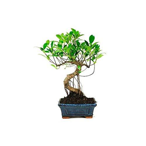 Bonsái Ficus Retusa de 6 Años Árbol Pequeño de Interior y Exterior