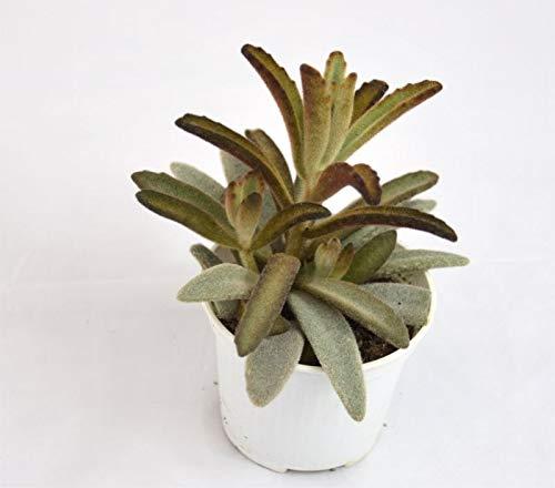 Pianta Grassa Kalanchoe tomentosa, Vaso 10cm