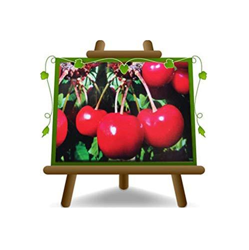 cerise doux Lapins - plante de fruits porte-greffe franc sur pot de 26 - arbre max 180 cm - 4 ans