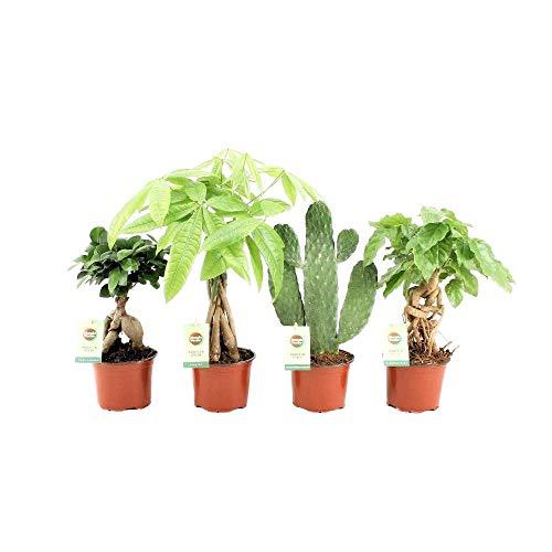 Hellogreen Zimmerpflanze - Easy Zimmerpflanzen Mix - ohne Ziertopf - 4er-Set - Luftreinigend - Easy to Care - Ficus Bonsai, Pachira, Opuntia Cactus, Radermachera
