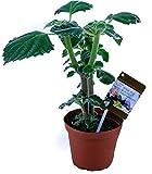 Australisches Zitronenblatt 'Green Velvet' Kräuter Pflanze, Ideal für Smoothie!