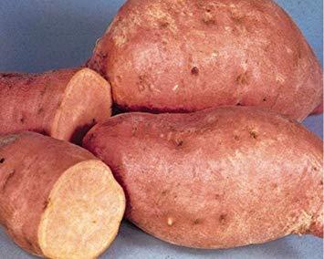 Centennial Sweet Potato Plants/Slips - America's most popular sweet potato, good...