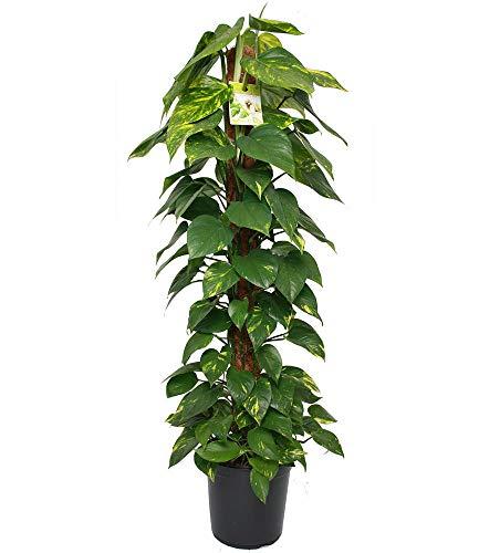 BALDUR-Garten Zimmerpflanze Efeutute am Moosstab ca. 100 cm hoch, 1 Pflanze Luftreinigende Zimmerpflanze Scindapsus, Epipremnum