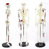 ZHANGXJ Clásico Mini Modelo Anatómico del Cuerpo Humano Modelo de Esqueleto con Músculos...