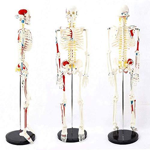 WANGIRL Anatomie Mini Anatomisches Modell des Menschlichen Körpers Skelett Modell mit Muskelbemalung, 85cm - BAU und Bewegung des Körpers Als Medizinisch
