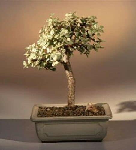 Japanese Mock Orange Bonsai Tree Flowering Indoor Live 7 Years Old Variegated