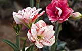 Pink Amaryllis Bulbs (10 Bulbs) Rare Flowers Bonsai Unique Outdoor Garden Decoration Bloom Spectacular Potted