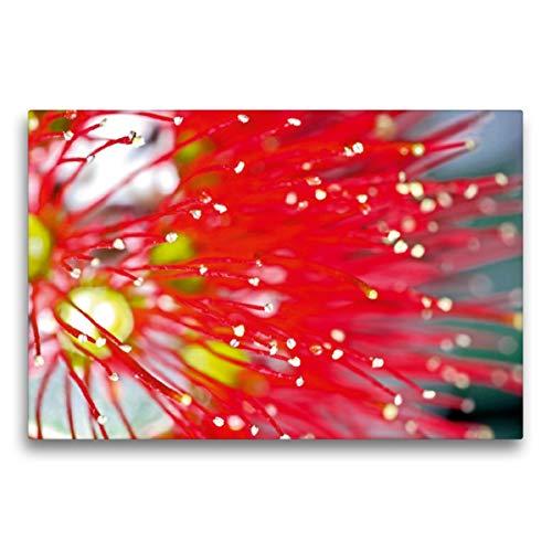 Premium Textil-Leinwand 75 x 50 cm Quer-Format Starrer Zylinderputzer (Callistemon), Leinwanddruck von Karsten Schulze