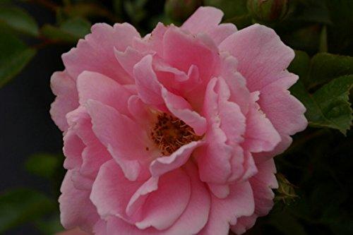 Bodendeckerrose Sommerwind® - Rosa Sommerwind® - Beetrose - reinrosa - Kordes-Rose - ADR-Rose - Preis nach Stückzahl 3 Stück