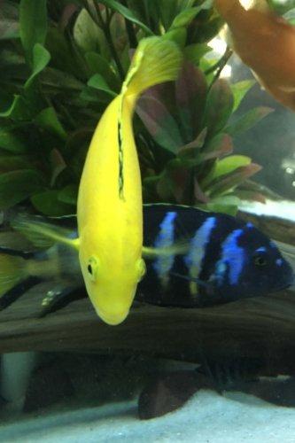 Yellow Labidochromis Caeruleus African Cichlid Aquarium Journal: Take Notes, Write Down Memories in this 150 Page Lined Journal