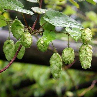 Hopfen - Humulus lupulus - starkwachsende Kletterpflanze