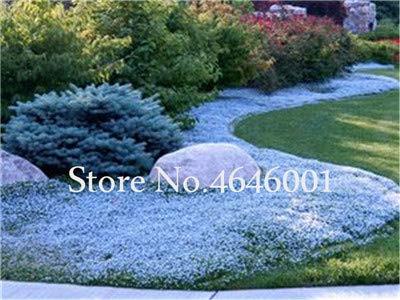 SVI frais 100 pcs rampantes fleur vivace thym SEED pour Blue1 lumière de plantation