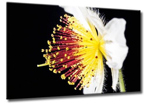 Fine-Art-Manufaktur Bild auf Leinwand Zimmerlinde Größe: 60cm x 90cm   Blüte Zimmerlinde Frühling Blume Blumen   Blüte einer Zimmerlinde   Farbe: schwarz   Rubrik: pflanzen + natur