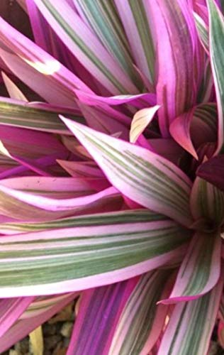 PLAT FIRM GERMINATIONSAMEN: TRICOLOR RHOEO - AUSSENANLAGE - ROSAFARBENE BLATT-VARIEGATION 1 Pflanze verwurzelt