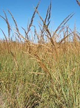 VISTARIC YUCCA FILAMENTOSA zone ADAMS AIGUILLE 5 hardis 10 graines par Oasis Tropical