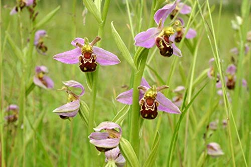 Les meilleures ventes! Graines Bee Orchid Plantes vivaces à fleurs Graines en pot Plantes intéressants 50 graines / sac, # MLAO3R