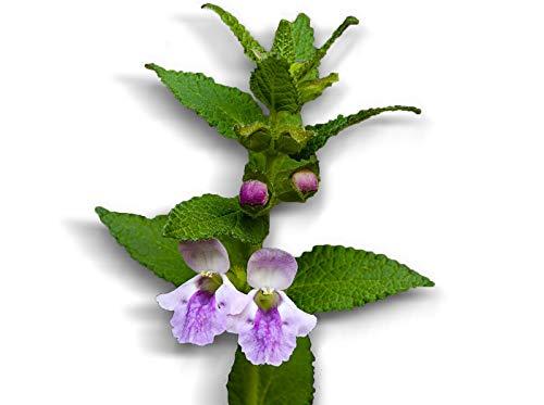 50 graines Aromatiques - MELISSE Officinale - Melissa officinalis