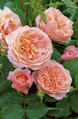 'William Morris' -R-, Englische Rose im 4 L Container