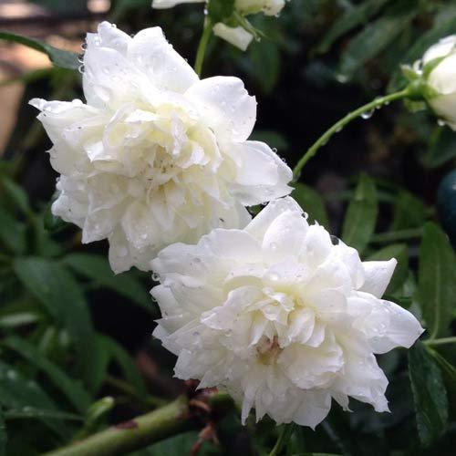 バラ苗 2年大株 4号 白木香 Old Roses O0930 送料無料 贈答 ハロウィン お歳暮