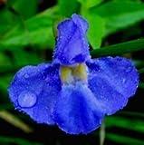 30 Samen Blau Gauklerblume, (Mimulus trigrinus) Monkey Flower Blue