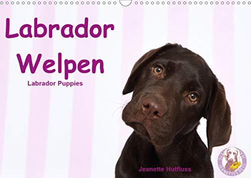 Labrador Welpen - Labrador Puppies (Wandkalender 2021 DIN A3 quer)