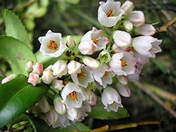 VISTARIC 3000 CLOVER CRIMSON (Carnation, français ou italien Clover) Trifolium incarnatum Graines de fleurs par Seedville