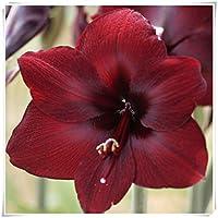アマリリス園芸植栽,エレガントでかわいい,装飾的なガーデンブーケは豊かでカラフルです,周囲12-16センチ-赤,1 球根