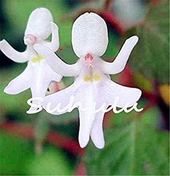 Vistaric 30pcs japonais graines d'orchidée de tigre blanc et noir Radiata Aigrette orchidée graines du monde des espèces rares fleur pour la décoration de jardin à la maison 11
